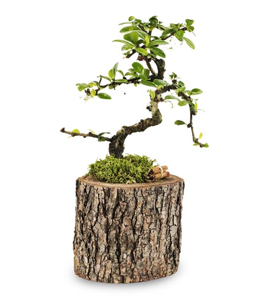 Borghese Bonsai