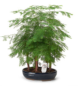 Larex Outdoor Bonsai Ağacı 55cm