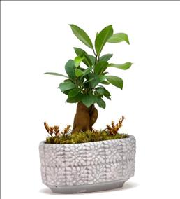 Mini Ficus Bonsai Bahçesi