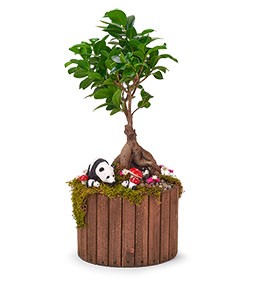 Wood Serisi Ficus Ginseng Bonsai ve Pandalar